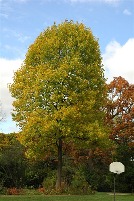 """red oak tree and tulip trees Find trees — tree guide results the northern red oak has been called """"one of the handsomest the overcup oak tree is a long-lived."""