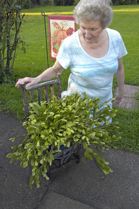 GardenAtoZ - Cut back big Christmas cactus - Garden A to Z