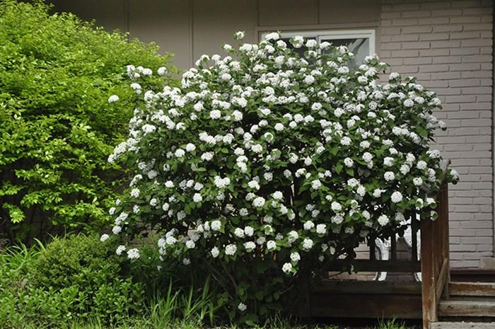 Gardenatoz Judd Viburnum Garden A To Z
