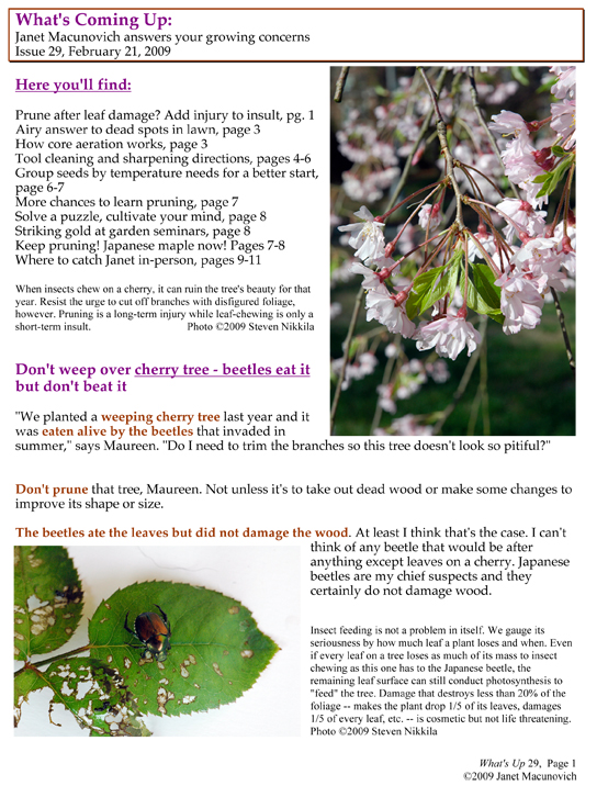 Japanese Beetles on Crape Myrtles, Maples, Plums, and Roses |Japanese Maple Red Beetle