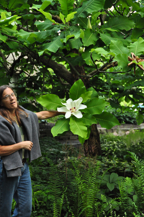 Gardenatoz Bigleaf Magnolia Garden A To Z